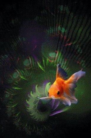 Goldfish Live Wallpaper Download Goldfish Live Wallpaper 26 Goldfish Wallpaper Goldfish Beautiful Gif