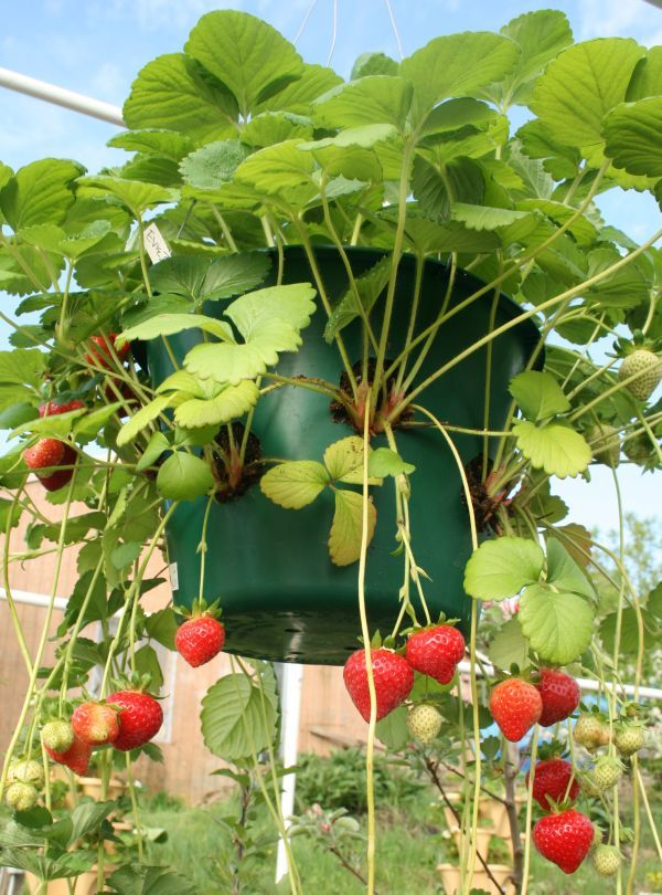 Drill Wholes In Your Standard Hanging Planter Plant