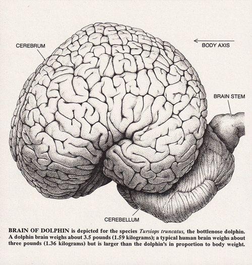 Diagram Of Dolphin Brain - Block And Schematic Diagrams •