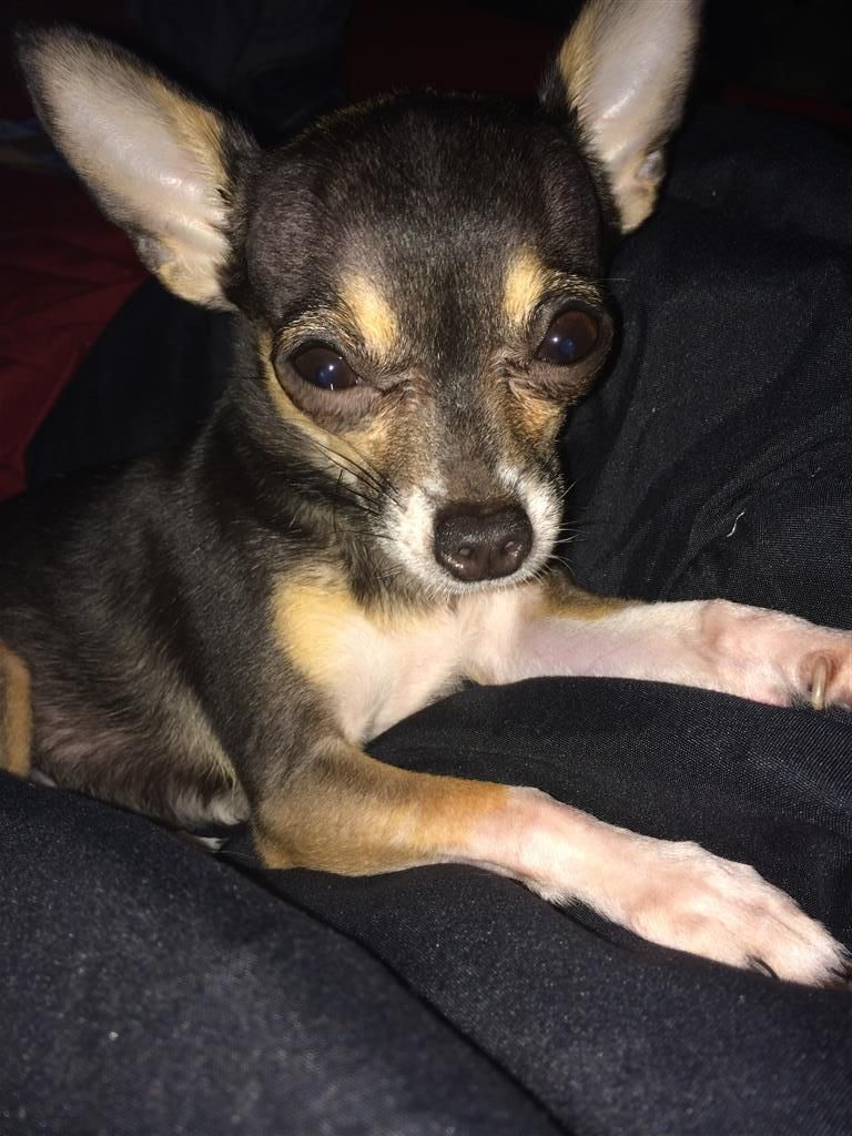 Lost Dog Chihuahua Short Haired Tallahassee Fl United States