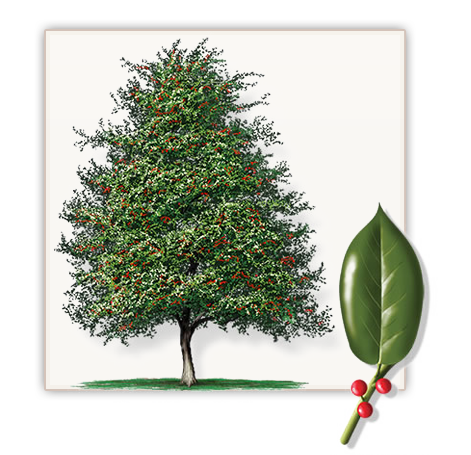 East Palatka Holly Tree | Mature Height: 20' | Growth Rate ...