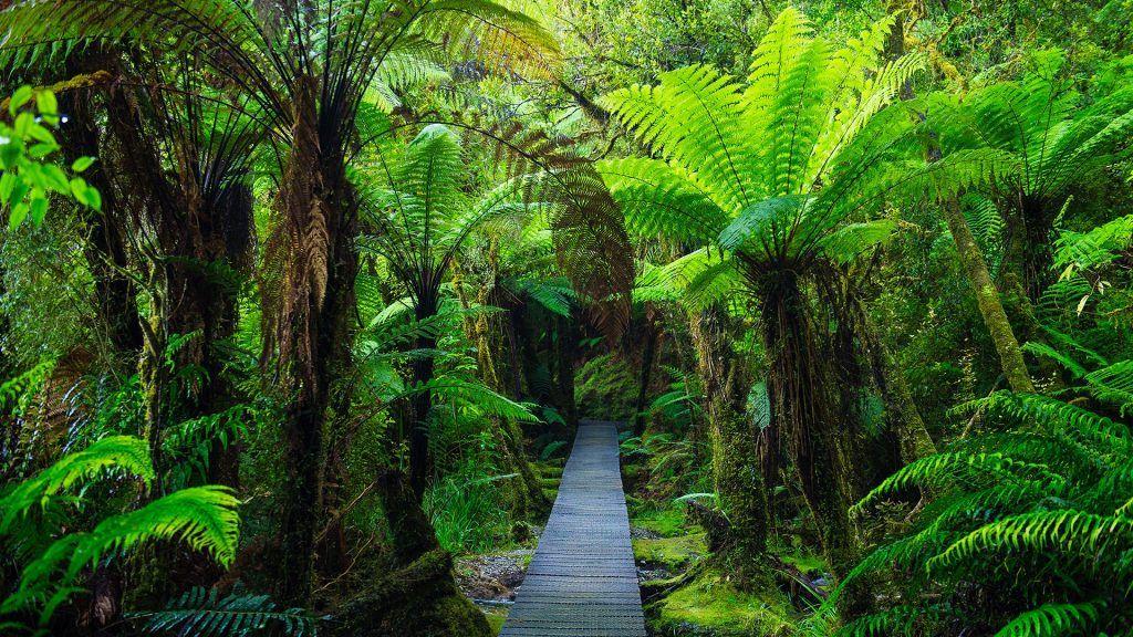 Wooden footpath in dense jungle, Westland National Park
