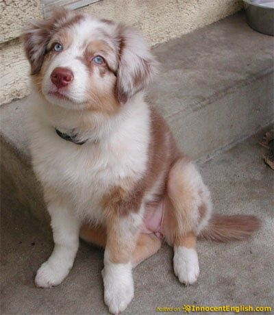 australian shepherd puppy - looks like our red merle.... (RED). he was beautiful & went on to be quite dashing! he attended his owner's wedding....w/a collar fashioned like a tux... :)