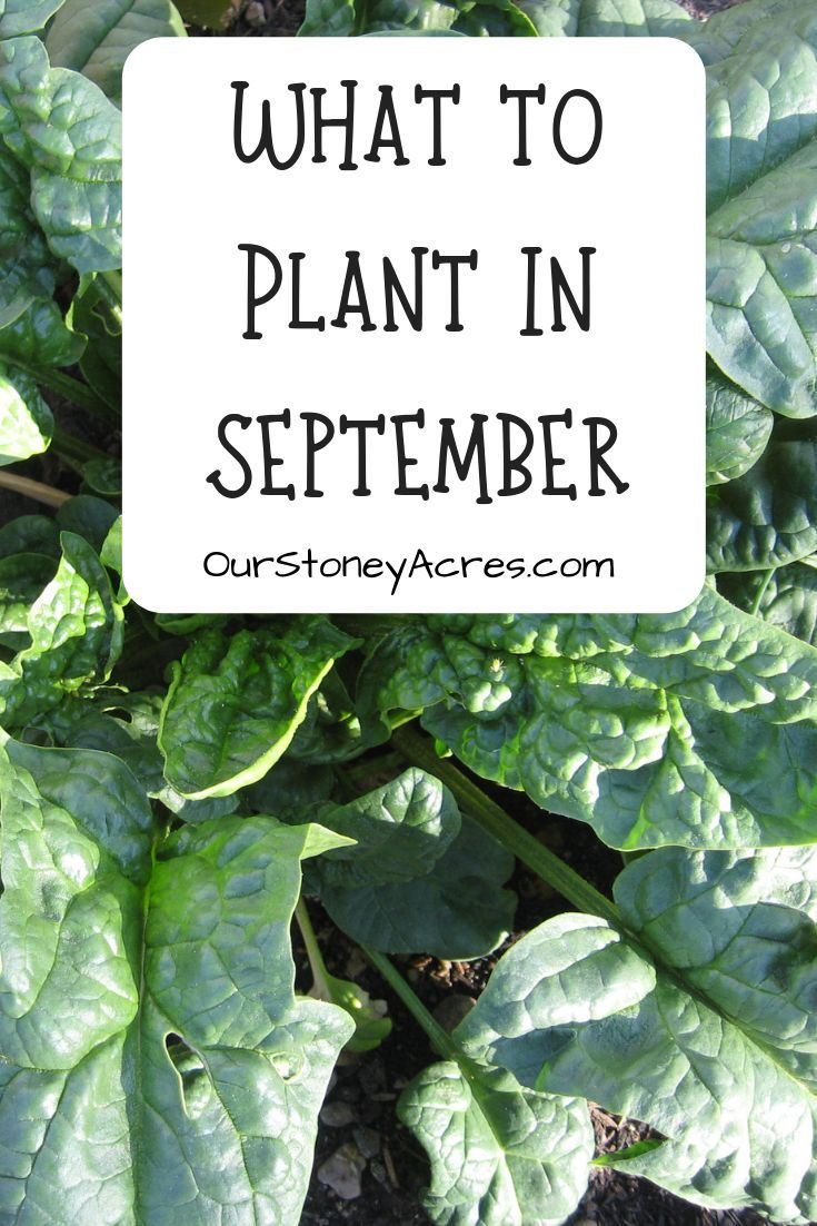 5 Crops you can still plant in September is part of Garden veggies, Plants, Vegetable garden, Growing vegetables, Veggie garden, Backyard garden - 5 Crops you can still plant in September include Mache, lettuce, spinach, kale and claytonia  Plant these greens now for a harvest in late winter and spring