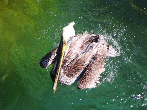 Happy Pelican. Photo by Myriam B. Mahiques. http://yourshot.nationalgeographic.com/profile/285029/