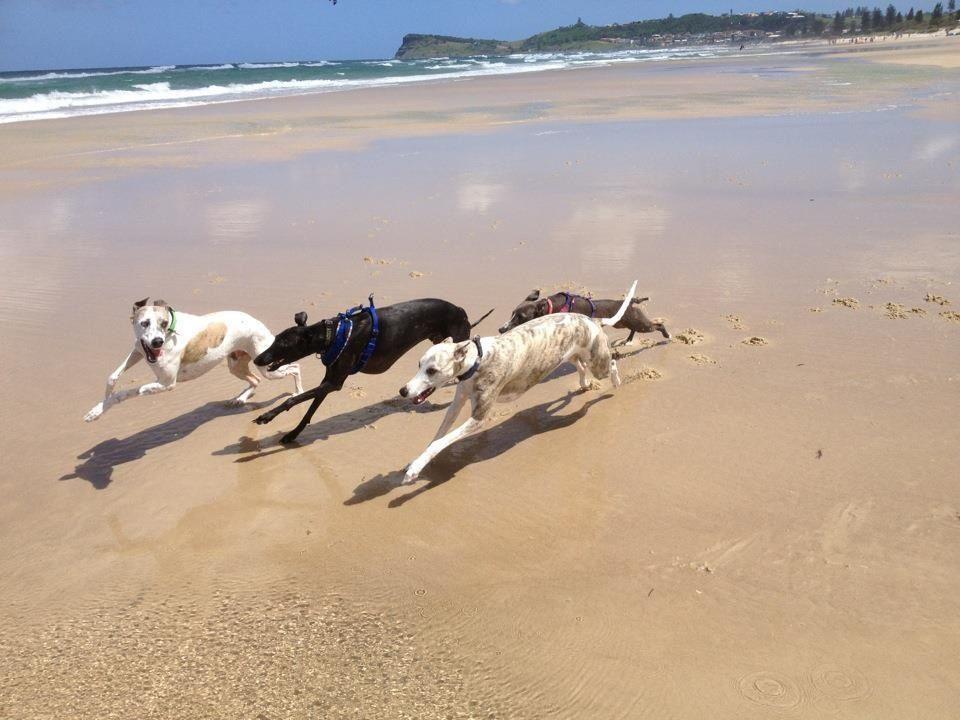 Was Whippets In Northern Nsw Grey Hound Dog Greyhound Puppy Dog Love