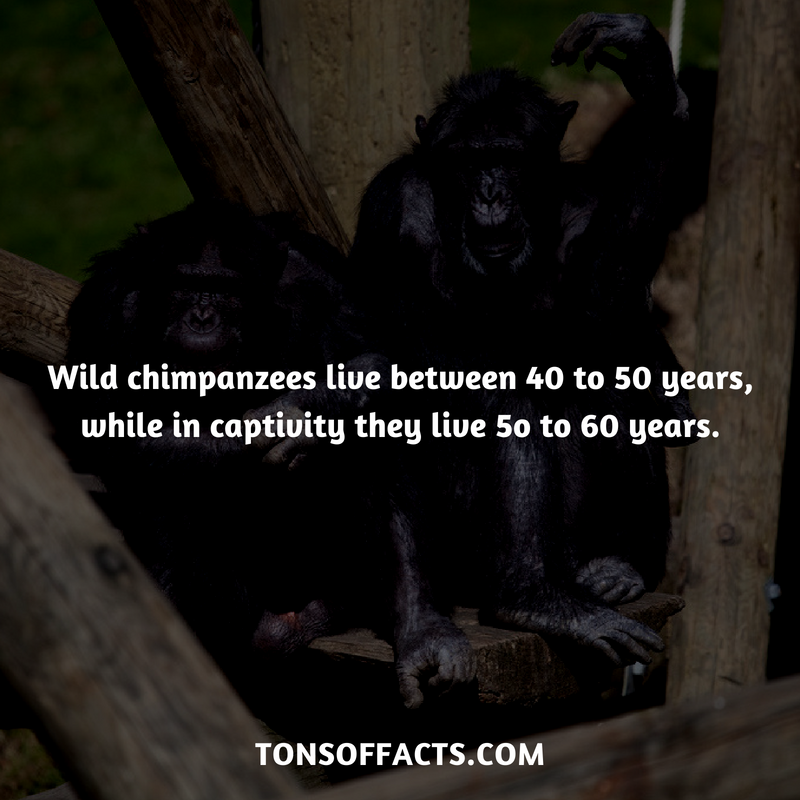 Wild chimpanzees live between 40 to 50 years, while in