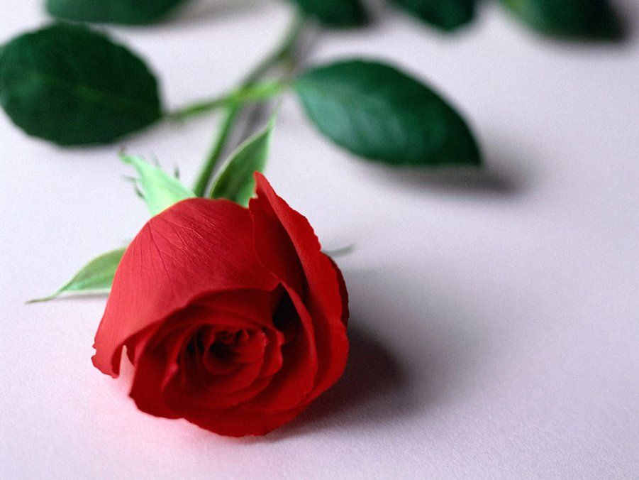 Gambar Bunga Mawar Merah Yang Indah Di 2019 Mawar Cantik