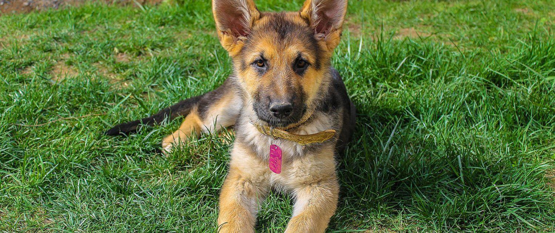 schaferhundwelpensuess Schäferhund welpen, Welpen, Hunde