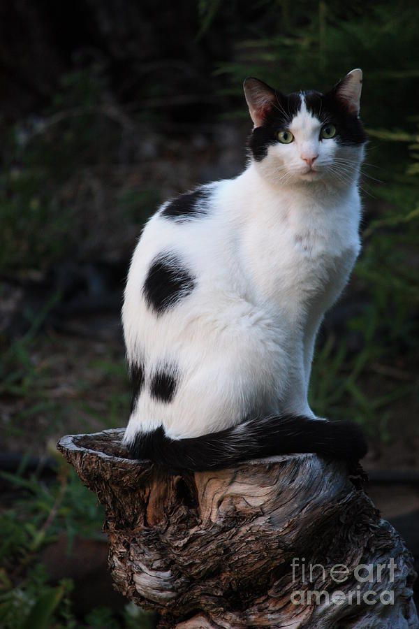 Black And White Cat On Tree Stump By Carol Groenen In 2020 Popular Cat Breeds White Cat Cats And Kittens