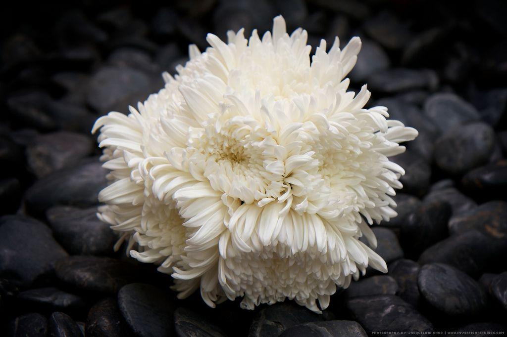 White Chrysanthemum Bouquet White chrysanthemum