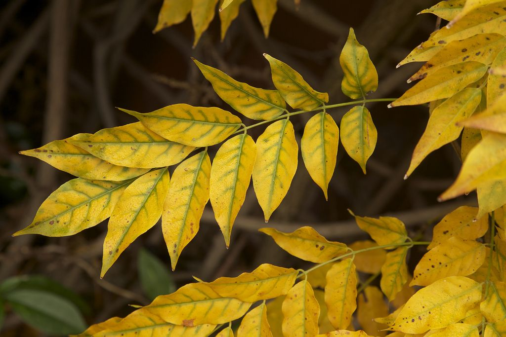 Autumn Wisteria Leaves Become More Yellow Garden News Plant Leaves