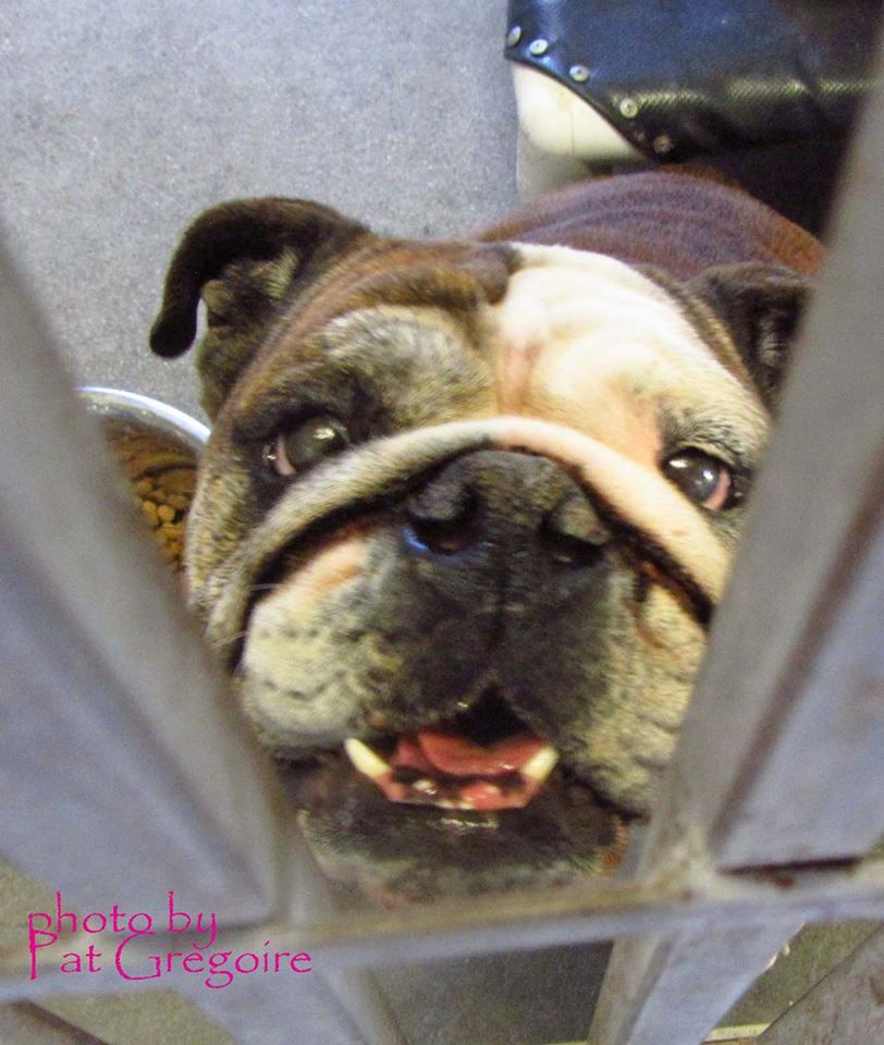 A4774137 I am an extremely friendly 6 yr old female tan/white English Bulldog. I came to the shelter as a stray on Nov 7. available 11/12/14 Baldwin Park shelter Open for Adoptions 7 days a Week 4275 Elton Street, Baldwin Park, California 91706 Phone 626 430 2378 Hours: Monday - Thursday 12 - 7 Friday - Sunday 10 - 5