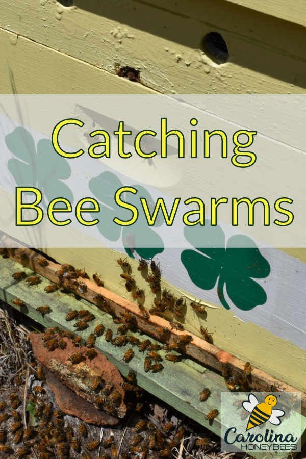 Nothing beats the excitement of catching bee swarms A swarm of bees can represent money too Can you say  FREE BEES
