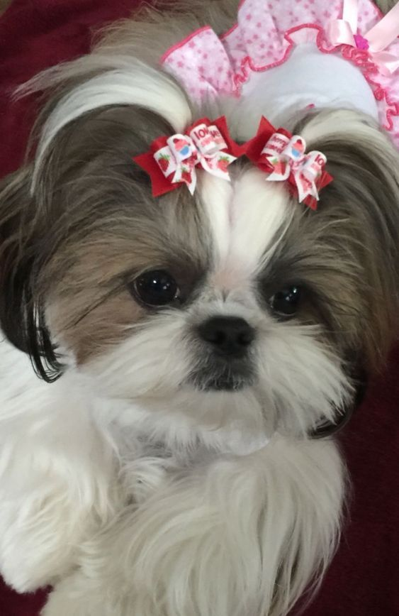What Do Shih Tzu Puppies Require For Proper Care And Upkeep 1 Shih Tzu Puppy Shih Tzu Shih Tzu Dog