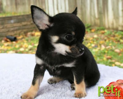 Beautiful Black Tri Smooth Coat Apple Head Chihuahua Female