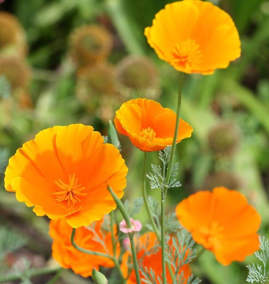 How To Grow California Poppies From Seeds Growing Plants