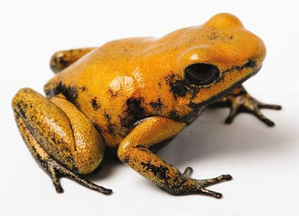 Golden Poison Dart Frog | ... of the Pacific | Online Learning Center | Golden Poison Dart Frog