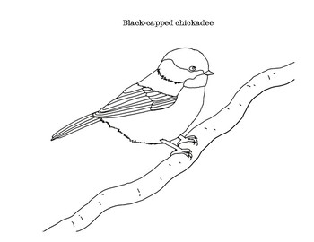 These Coloring Pages Feature A Realistic Line Drawing Of The Black Capped Chickadee The First Page Has The S Coloring Pages America Art Black Capped Chickadee