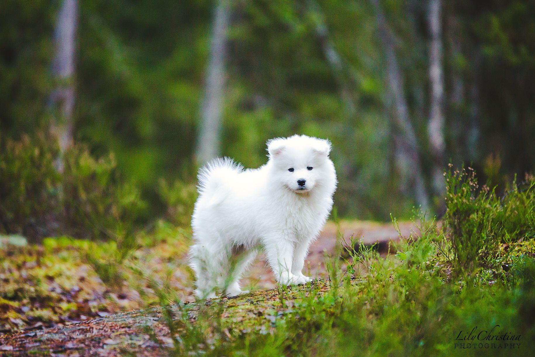 Uusi Perheenjasen Lili Koiranpentu Samojedi Koira