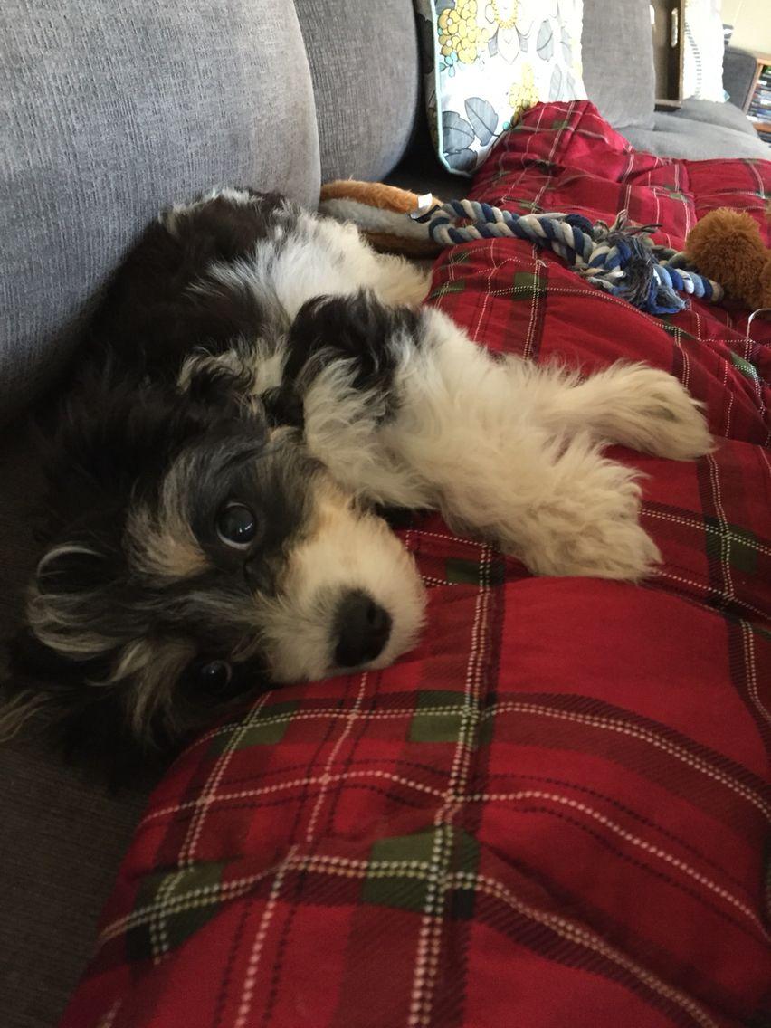 Cavachon puppy cavachon puppies puppies cavachon