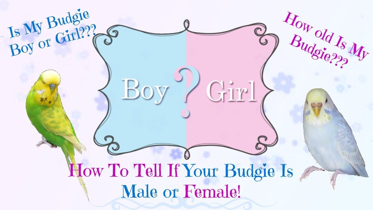 How To Tell If Your Budgie Is Male Or Female As Well As Age Budgies Budgies Bird Male