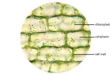 Elodea Leaf Cell Under Microscope | Plant cell, Lab ...