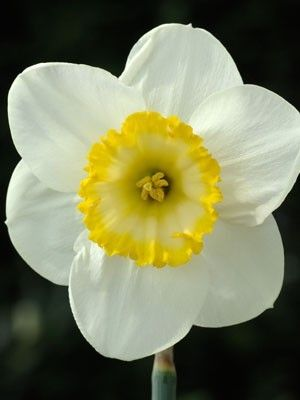 Daffodil Green Island available at LivingGardens.com