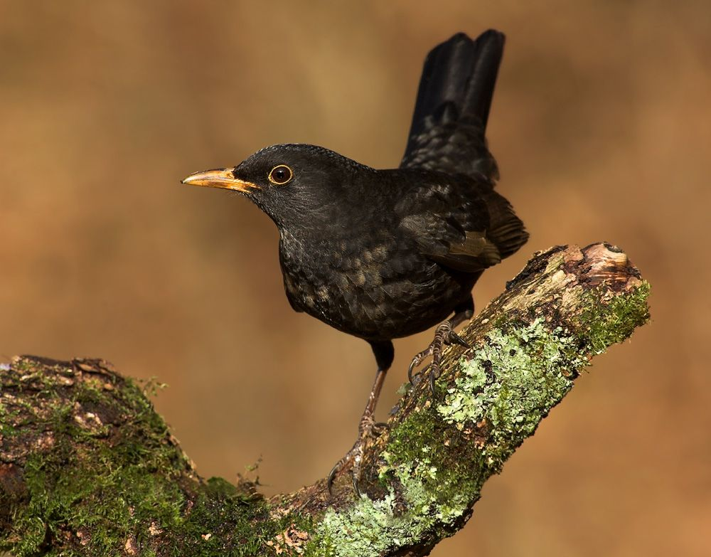 Pin By Lyn Bailey On To Sketch Birds Backyard Birds Magpie