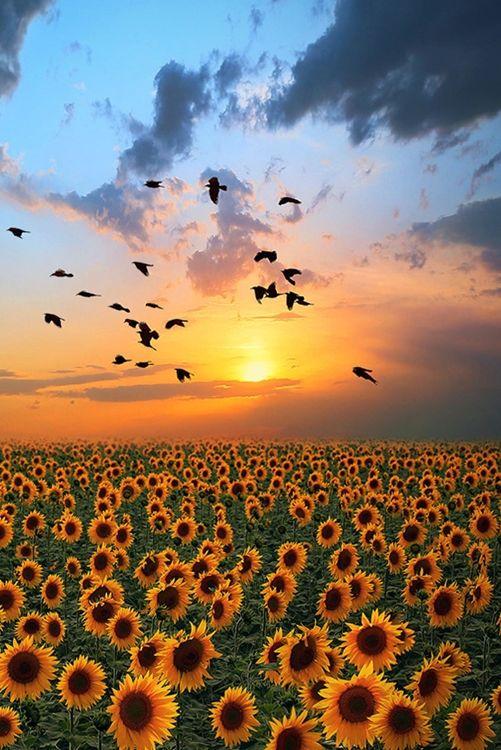 Adventure Beautiful Nature Sunflower Pictures Sunflower Wallpaper Beautiful sunflower field hd wallpaper
