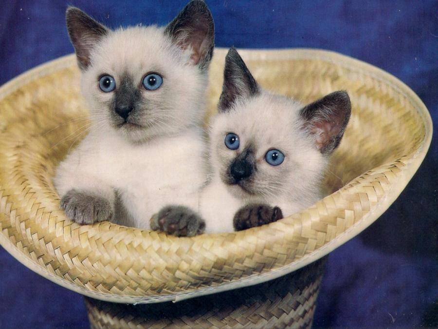 Siamese Twin Kittens Pixdaus Kittens Cutest Kittens Pretty Cats