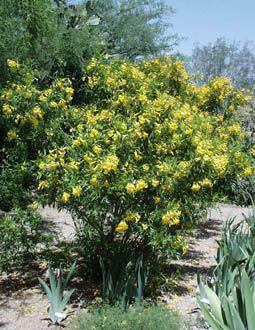 Tecoma Stans Angustata Yellow Bells Bush Shrub With Bright Yellow