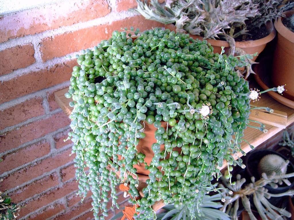 Planta rosario rosario plantas de interior y plantas for Lista de plantas de sombra
