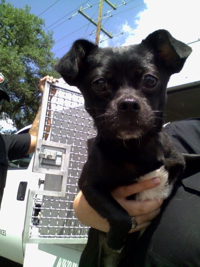 Chug Dog For Adoption In San Antonio Tx Adn 529745 On Puppyfinder Com Gender Male Age Young Dog Adoption Chug Dog Dogs