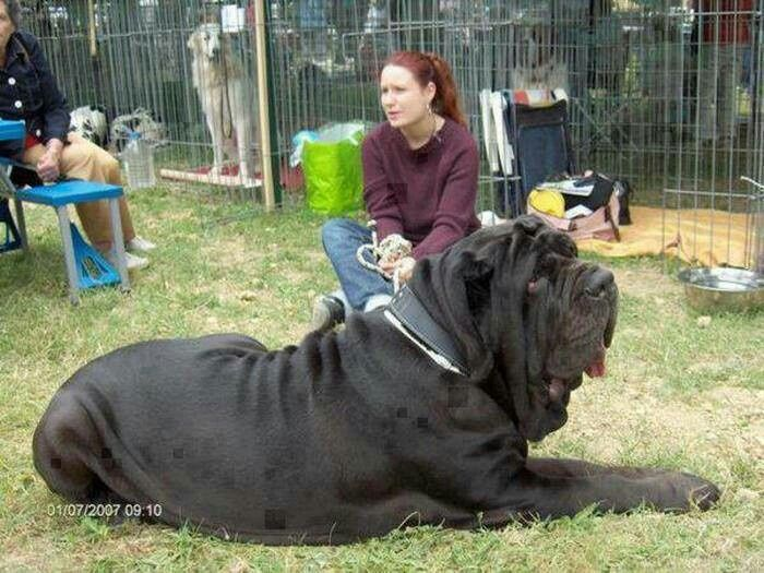 Largest Cane Corso On Record