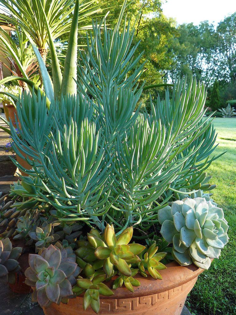 senecio talinoides cylindricus suculentas plantas en