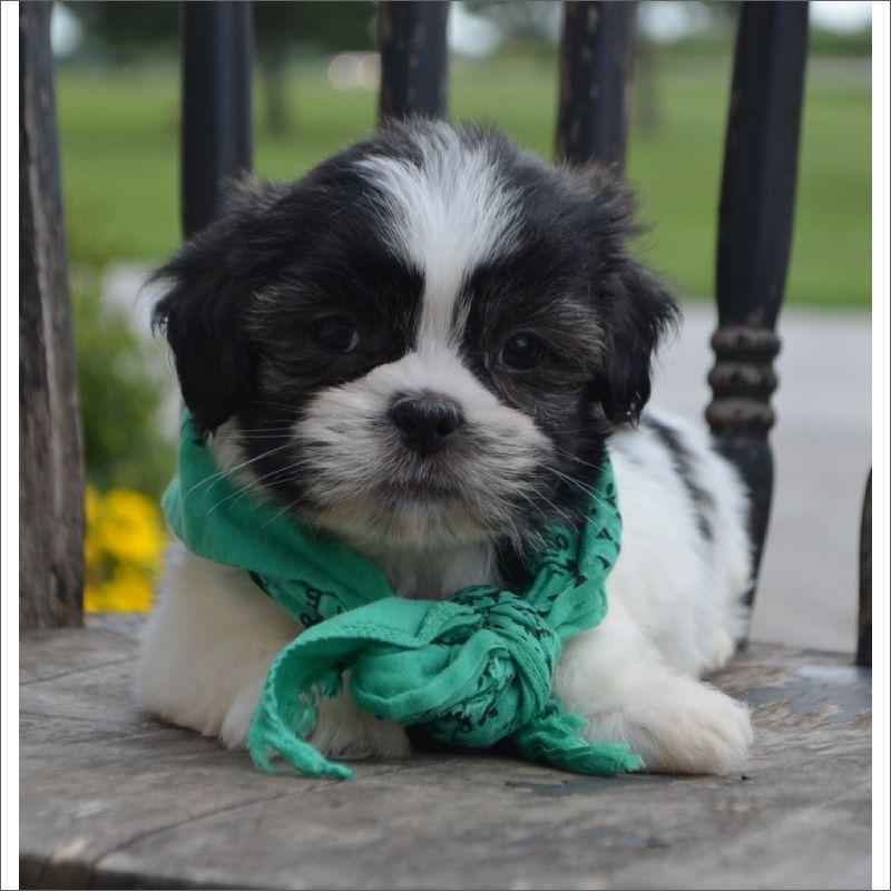 Lhasa Apso Puppy For Sale In Tucson Az Adn 43269 On Puppyfinder
