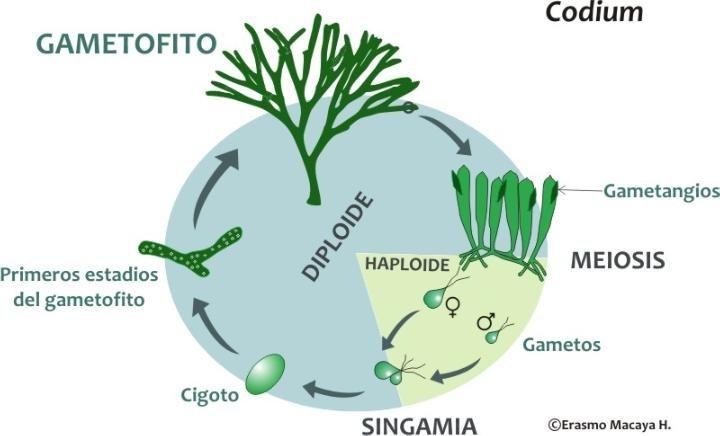 Ciclos De Vida Codium Ciclos De Vida Biologia Vida