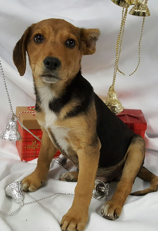 Labbe Dog For Adoption In Chicago Il Adn 406875 On Puppyfinder