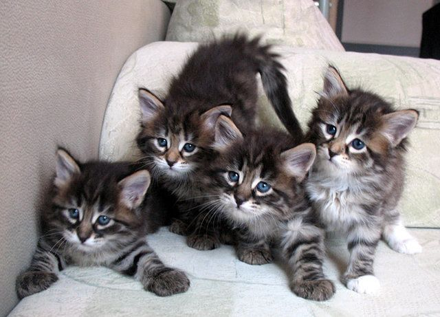 Pictures of Siberian Kittens | Top Quality Siberian Kittens - Dubai City - Pets For Sale, PT94328