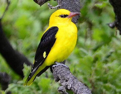 Golden Oriole Bright Yellow But Shy Golden Oriole Oriole Bird