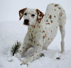 lemon spotted dalmatian - Google Search