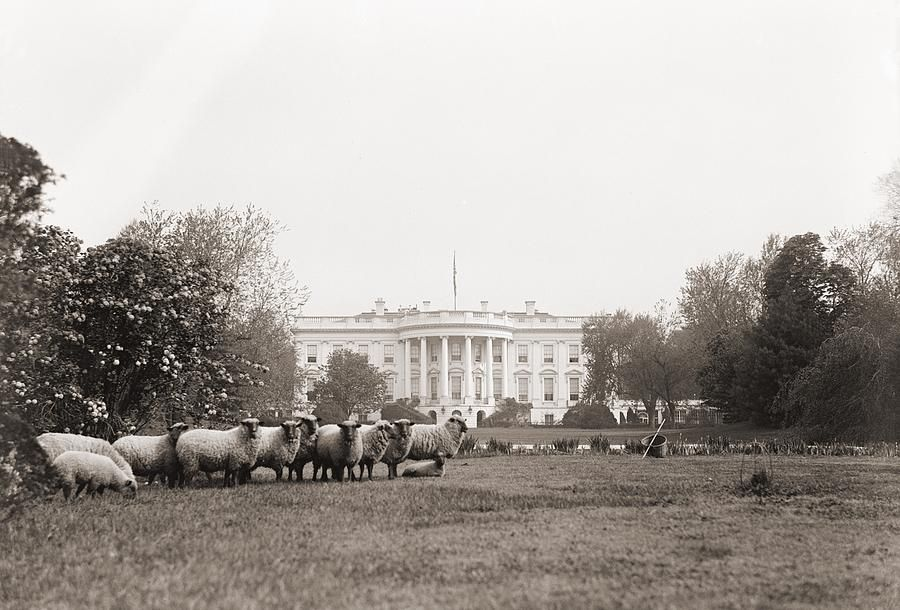 Sheep grazing on the White House lawn - c. 1914-1918