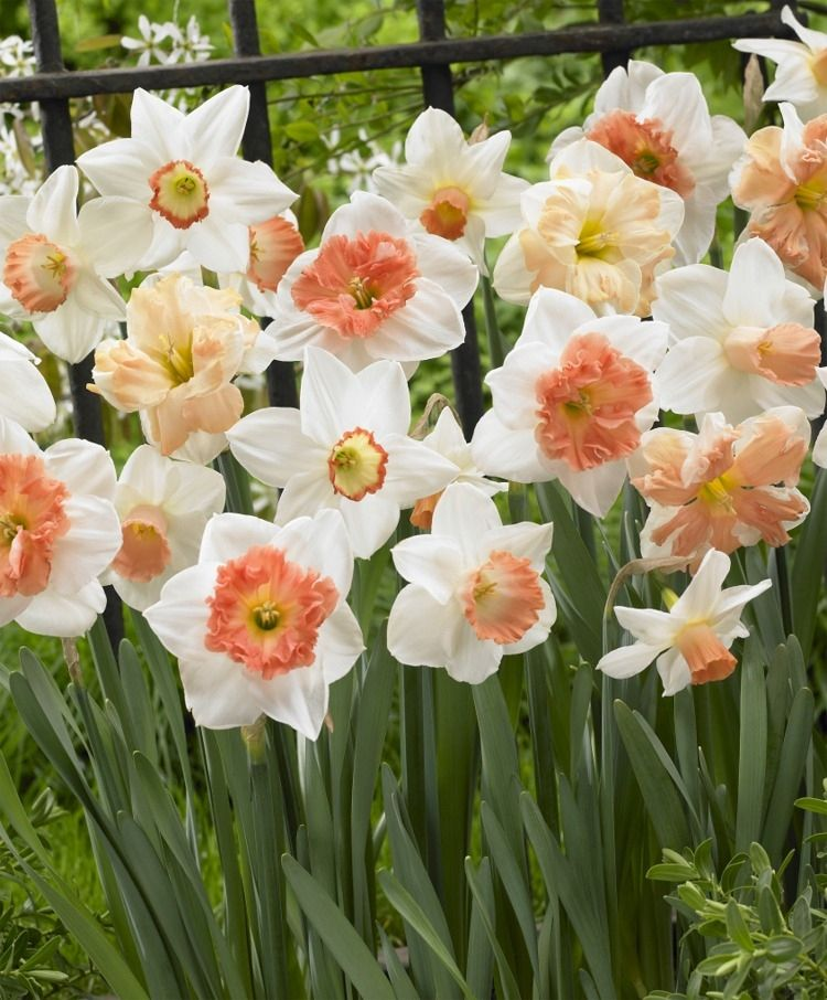 The Ravishing All Pink Narcissus Mixture Large Cupped Narcissi Narcissi Fall 2015 Flower Bulbs Fall Plants Narcissus Flower Daffodil Bulbs