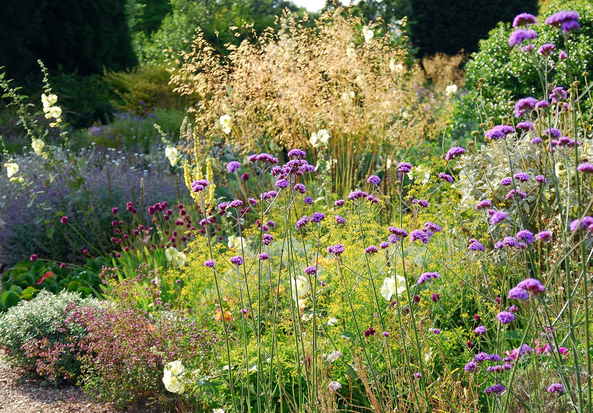 verbena bonariensis with stipa gigantea beth chatto garden