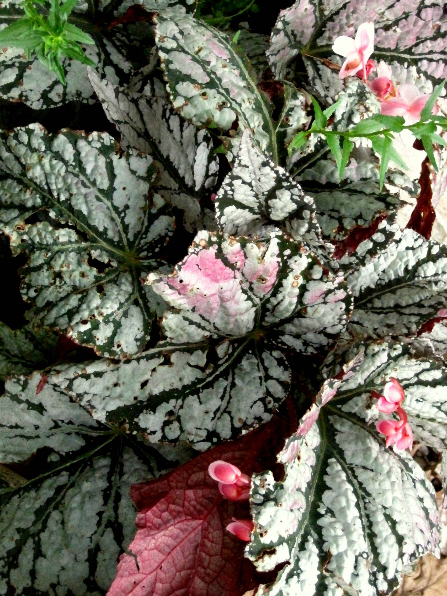 Begonia Begonia Perennial Flowering Plants Foliage Plants