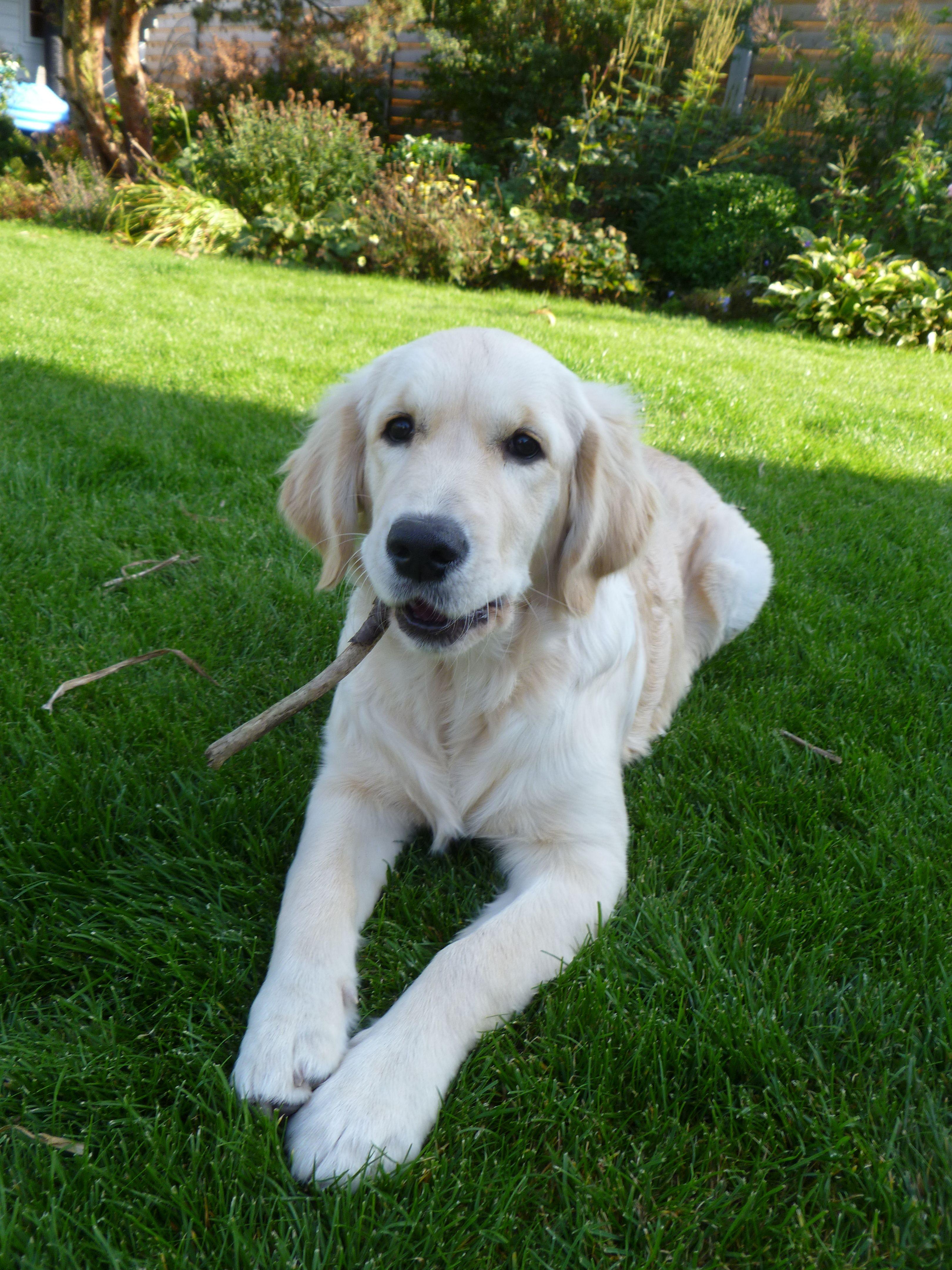 Miss mabel months wheatons golden retrievers mascotas