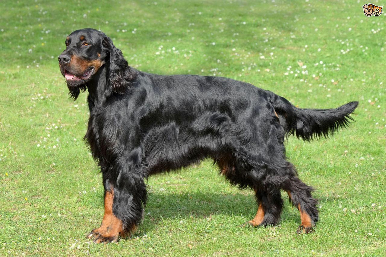 Gordon Setter Gordon setter, Best pet dogs, Dog breeds