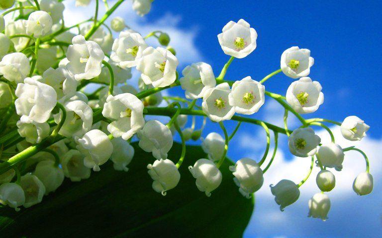 世界の花図鑑 On Twitter Valley Flowers Lily Of The Valley Flowers Nature