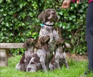 Gsp And Baby Carrots 3 10 Carrot Diamonds By Cecelia Pure Breed Dogs Puppies German Shorthaired Pointer